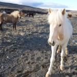 Cheval Islandais - Gulfoss