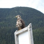 Bald Eagle - Bowron Lake