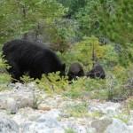 Ours noir à 5m de nous - Chilkoot Trail