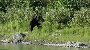 Ours noir - Yukon river,YT