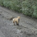 Artic Fox - Tomstone, YT