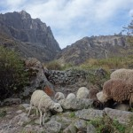 Moutons - Canyon de Colca