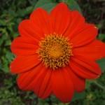 Fleur - Santa Theressa