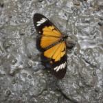 Papillon - Santa Theressa
