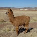 Lama - Entre Puno et Llave