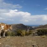 La vache - Entre Copacabana et San Pedro de Tiquina