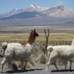 Lama - Parque Nacional Sajama