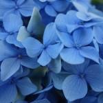 Fleur bleu, Futrono