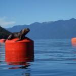 Lions de mer de Patagonie