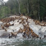 lion de mer de Patagonie