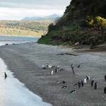 Pingouin, Canal de Beagle